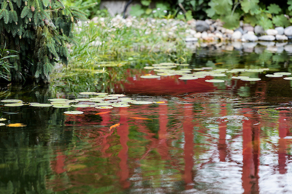 A reflective pond with koi fish visible underneath lily pads.